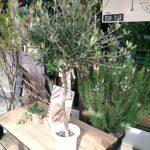 室内観葉植物、ウンベラータを迷ってからのオリーブの木を買いました。