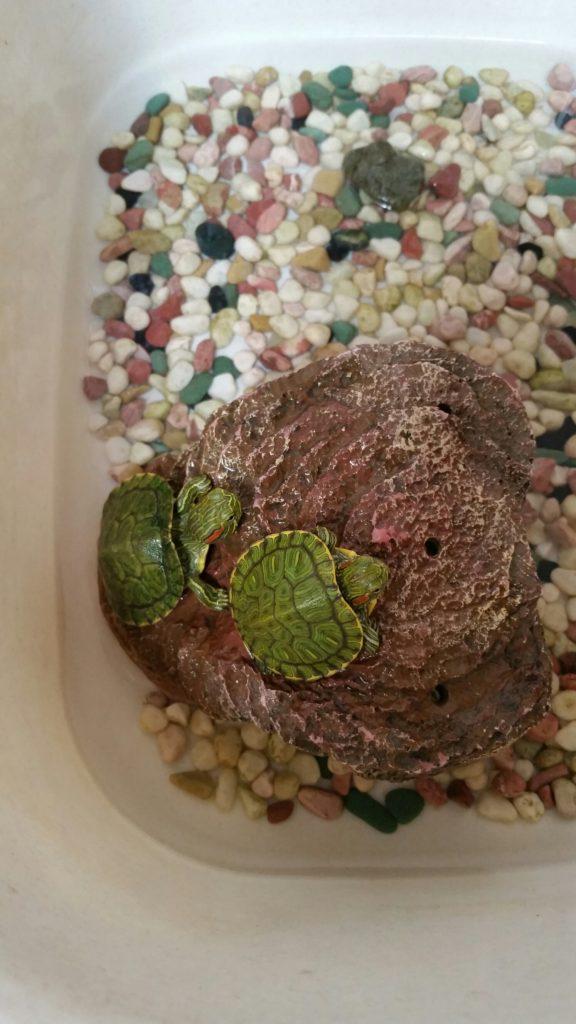 幼児と飼える小さな昆虫、生き物は?ミドリガメ・カニ・ザリガニ・メダカ・バッタ・ダンゴムシ・・嗚呼・・・